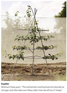 Espalier by Chris & Sarah Pike of Branch Nurseries
