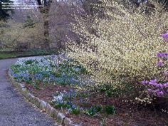 Buttercup Winterhazel  Corylopsis pauciflora - blooms in April in Zone 6/7