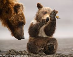 Don't interrupt me now I m playing Mama- bear cub