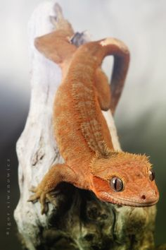 Crested gecko ✯ By Igor Siwanowicz ✯ Les Reptiles, Cute Reptiles, Reptiles And Amphibians, Mammals, Paludarium, Vivarium, Animals And Pets, Baby Animals, Cute Animals