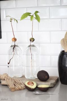 Plant Avocado: Step-by-step instructions - from core to avocado plant pflanzen Aquaponics – Jetzt können Sie ganz einfach Ihr eigenes Gemüse anbauen Indoor Garden, Garden Plants, Indoor Plants, Decoration Plante, Plants Are Friends, Plantation, Green Life, Aquaponics, Water Garden