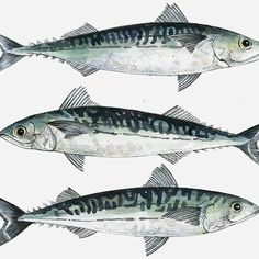 Mackerel painting