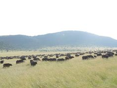 Wildebeest Migrations to Masai Mara at 14500/= contact 0710798172 | Nairobi