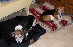 """In Louisville Ky: RETURNED....Buckley & Beezer/BONDED beagle boys, These two boys were adopted but after 1 week, the """"adopters"""" called and said they were not going to keep them because….are you ready…they barked when outside  and tracked mud in the house…"""