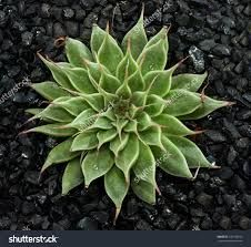 Resultado de imagem para silver star succulent