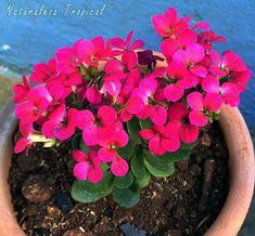 Flores púrpuras simples del Kalanchoe blossfeldiana siemprevivas