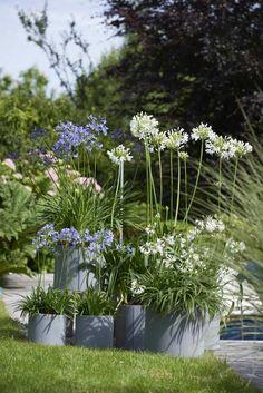 Agapanthus Garden, White Agapanthus, Topiary Garden, Edible Garden, Garden Pots, Outdoor Plants, Outdoor Gardens, Small Cottage Garden Ideas, White And Blue Flowers
