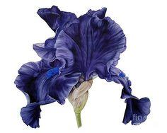 Black Iris II by Marie Burke