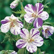 Geranium Pratense Splish Splash (Striatum)