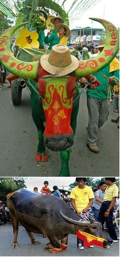 PULILAN CARABAO FESTIVAL --Hundreds of work animals, mostly carabaos, are led on a parade in the streets of the town of Pulilan in Bulacan province every May 14 and 15 to honor its patron saint, San Isidro Labrador. The carabaos decorated with garland and shaved for the occasion, genuflect or kneel in front of the church.     The celebration includes hanging all sorts of fruits, candies, food crops and multi-colored kipings on bamboo poles.