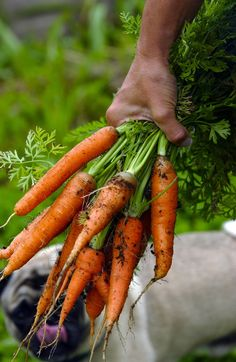 Carrots---food from the garden... the darlin' Pug belongs to our neighbor Clem and his sweet wife!