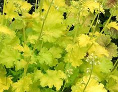 propogating Heuchera-Lime Rickey