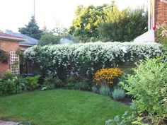 Sweet Autumn clematis. Mine covers a 10 ft high pergola; flowers every September; and cannot be killed.