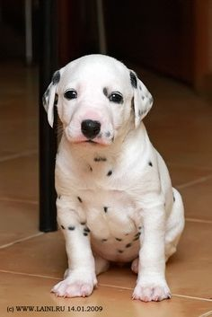 One of these days I will get my Dalmation puppy!