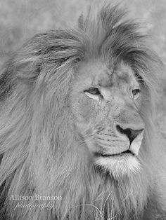 Lion at the Indianapolis Zoo by AllieBran, via Flickr