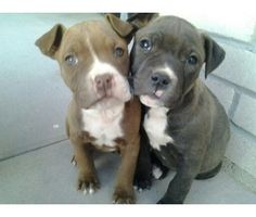 Pittbull puppies <3
