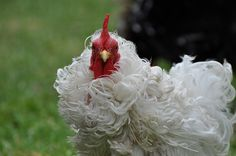 Frizzle in white