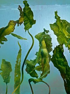 Is Seaweed the Next Superfood? - The New Yorker