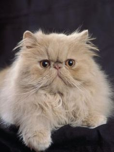 Persian Cat--Looks just like Mister RIP <3