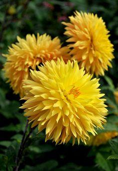 Yellow in the garden....Dahlia