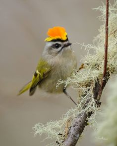 Male Golden-crowned Kinglet (Regulus satrapa) displaying his crown while trying to ward off another male in the area. In Washington (state), USA by Nature Photography by Jacob McGinnis.