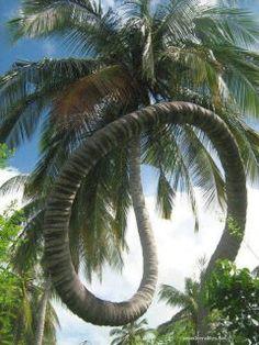 Palm tree?