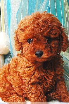 This dog is so cute. Love the red and the little curls.
