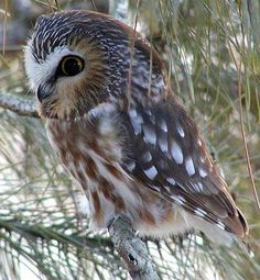 Cute baby owl, brings the message of new birth and connection to ancient wisdom