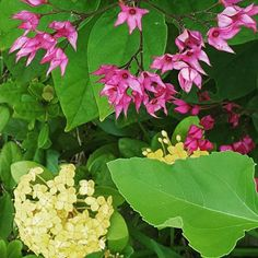 #yellow ioxus and #bleedingheart vine #gardening #flowers #flowerporn #garden #purple maybe #pink #containergarden #containergardening