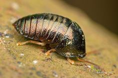 Photographer: melvyn yeo. At the risk of totally messing up the Id. I'm going to consider this one a sow bug or pill bug, order hexapoda, but not quite an insect.