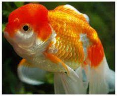Lovely Goldfish, Pets, Animals, Animaux, Animal, Animales, Animais