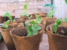 When And How To Transplant Seedlings Into The Garden - Raising plants from seeds can be a rewarding and exciting way to add new varieties to your garden. Many of the best and unusual varieties of vegetables are simply not available in your local nursery and your only option is growing these plants from seeds. But in order to grow these unusual varieties, you must know something about planting seedlings.