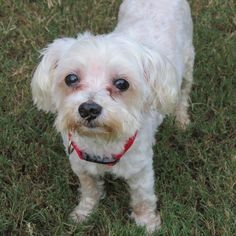 Meet Smitty, a Petfinder adoptable Maltese Dog | Alpharetta, GA | Hello there! My name is Smitty and I'm as cute as a button! I'm a little older (10+/-) and I do...