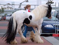 Beautiful Paladin at Melbourne Equitana Gypsy Cob Stallion