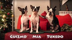 Check out New Tricks of Three Boston Terrier Dogs together for Christmas!  ► http://www.bterrier.com/?p=31034 - https://www.facebook.com/bterrierdogs