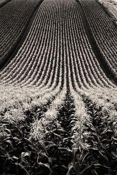 """gacougnol:  """"Kent Shiraishi  Corn fields  """""""