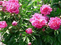 Peonies...one of my favorite flowers