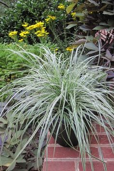 Carex oshimensis EverColor® 'Everest' PP20955 (Japanese sedge) - Grass - Zones 5-10, Height 12-18 in. No gardening mountain is too high to master with this easy to grow sedge! Adaptable to a variety of conditions, tuck 'Everest' into a border, living wall or mixed container for a four season display of tidy, mounding foliage. Icy white margins frost the edges of deep green arching leaves. Enjoy year-round color with this versatile ornamental grass from the EverColor® series.