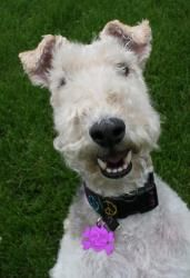 CHAUNCY is an adoptable Wire Fox Terrier Dog in Mokena, IL. Wire Fox Terrier Rescue is a 501(c)3 non-profit organization dedicated to the Rescue, Rehabilitation and Rehoming of Wire Fox Terriers in th...
