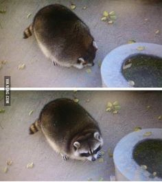 Look at this fat racoon