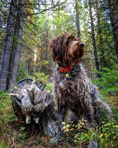 The German Shorthaired Pointer (GSP) was bred at the turn of the nineteenth century in Germany with the end goal of hunting. Quail Hunting, Pheasant Hunting, Hunting Dogs, German Shorthaired Pointer Black, German Wirehaired Pointer, Gsp Puppies, Pointer Puppies, Wirehaired Pointing Griffon, Working Dogs