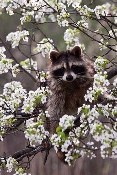 В цветение жизни обязательно влезет какой-нибудь скунс. Ну, или енот) Цветы от этого хуже не станут. #коучинг