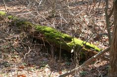 Enjoy seeing lush green moss. This is an old tree trunk. As I looked at the photo I saw what looked like an Owl with a lighter colored breast hiding under the trunk. I actually walked back in to the trail to check today. What do you think. Was there an Owl, or an optical illusion?