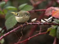 Ruby-crowned Kinglet. A VERY difficult bird to spot. They move like hyper little wind-up toys!