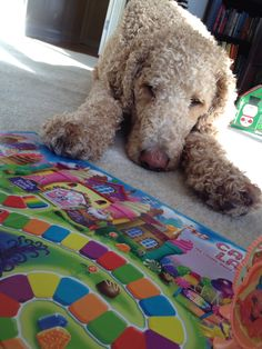 Standard poodle playing candy land. He is sad because he is losing ;)