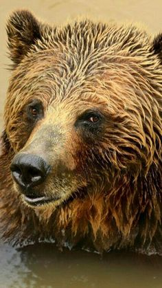 What a Gorgeous Grizzly!