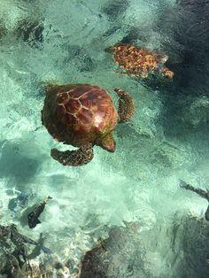 ced53de18a Green sea turtle feeding on algae.