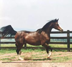 Keepsake V (Huckleberry Bey x Khemadera) 1983 bay mare bred by Varian Arabians, California - U.S. National Champion - produced 2  Dams of Distinction - dam line to legendary Crabbet mare Queen Of Sheba - shown here at 17