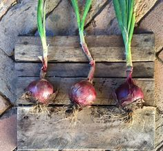 These red onions straight from our garden taste absolutely incredible. The flavour is quite mild and perfect in a salad. Have converted a few no onion eaters with these wee beauties
