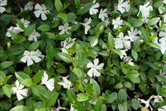 vinca minor groundcover plantsfordallas.com #plantsfordallas